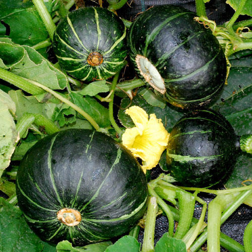 Squash Fruit Or Vegetable  Squash Pumpkins Ve ables