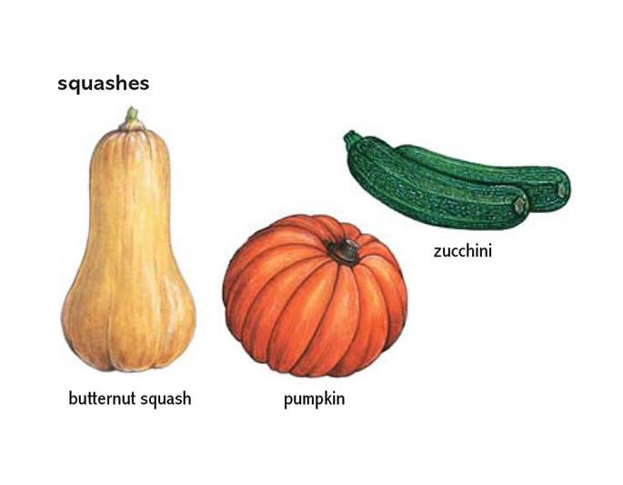 Squash Fruit Or Vegetable  butternut squash noun Definition pictures