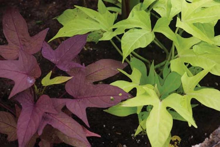 Sweet Potato Leaves  Amazing health Benefits Eating Sweet Potato Leaves