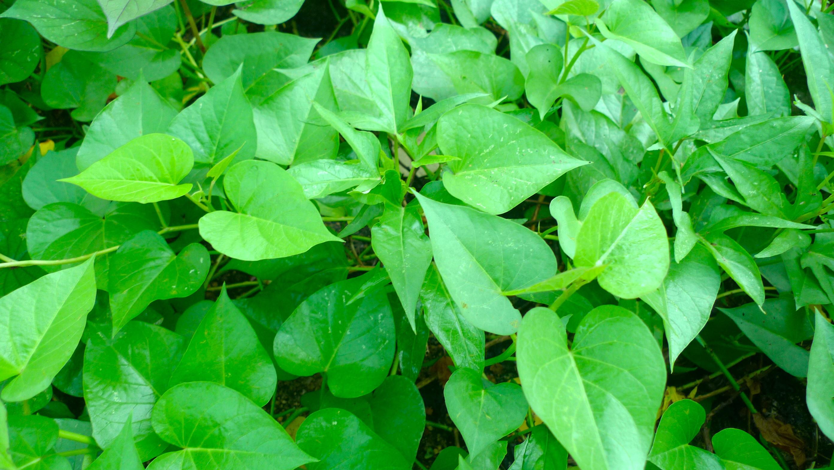 Sweet Potato Leaves  Stir fried Organic Sweet potato leaves – A happy organic