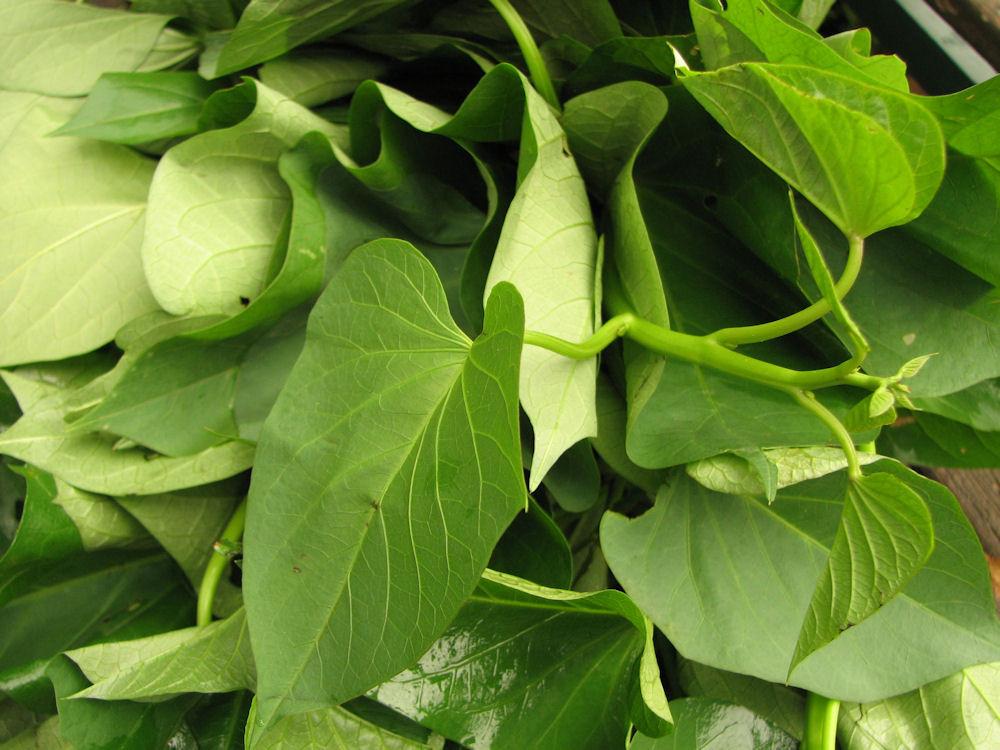 Sweet Potato Leaves  Wild Greens – Plant Abundance