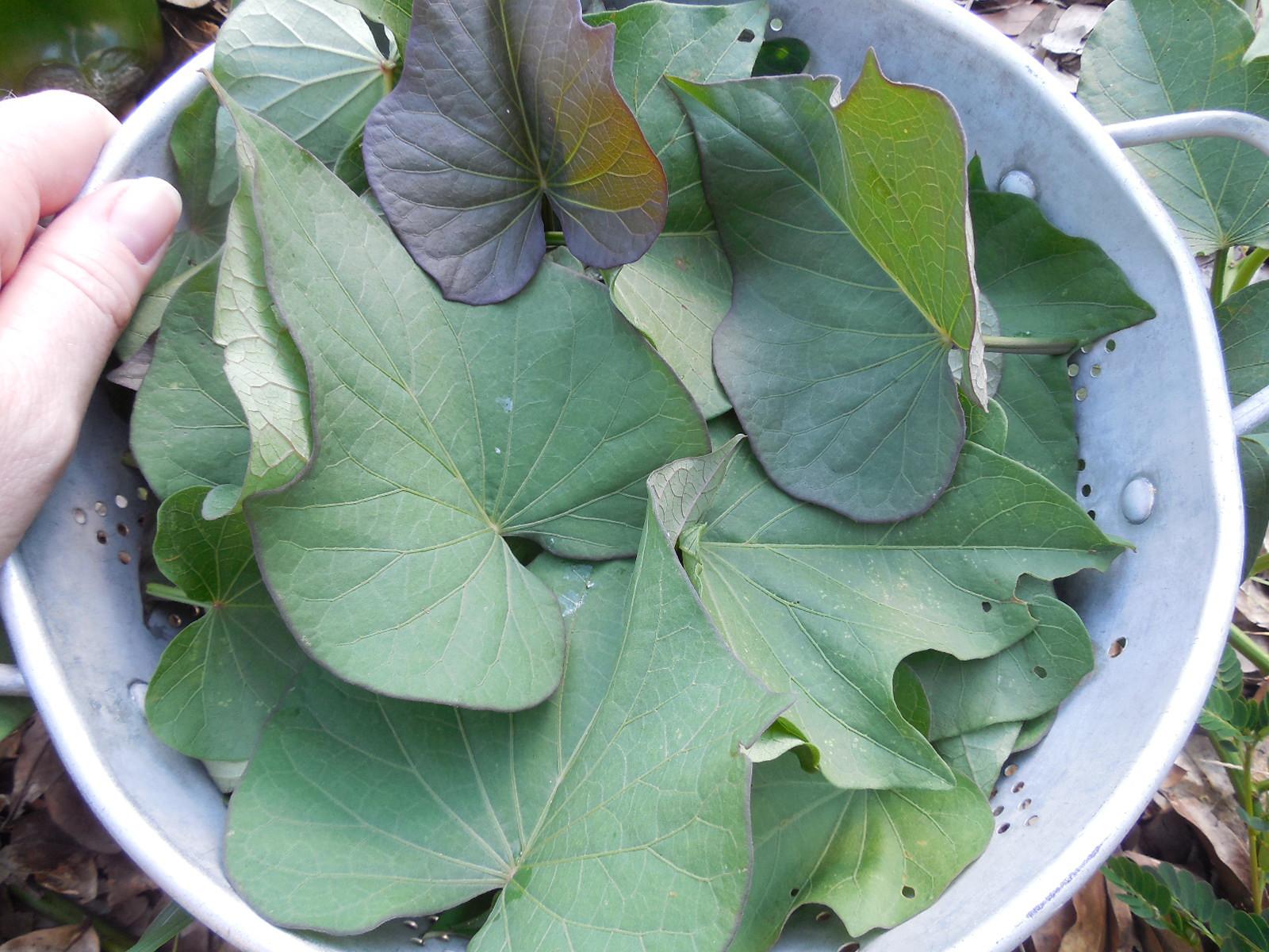 Sweet Potato Leaves  Are Sweet Potato Leaves Edible