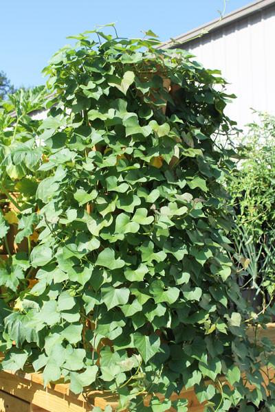 Sweet Potato Plants  How to Grow Sweet Potatoes Vertically GreenStalk