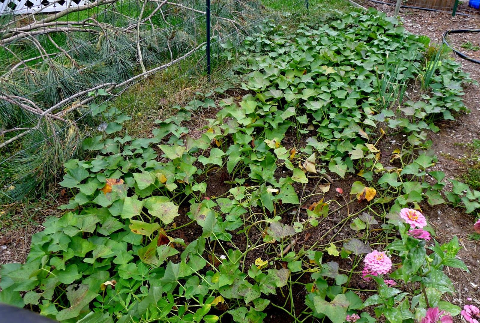 Sweet Potato Plants  Less Noise More Green e potato two potato