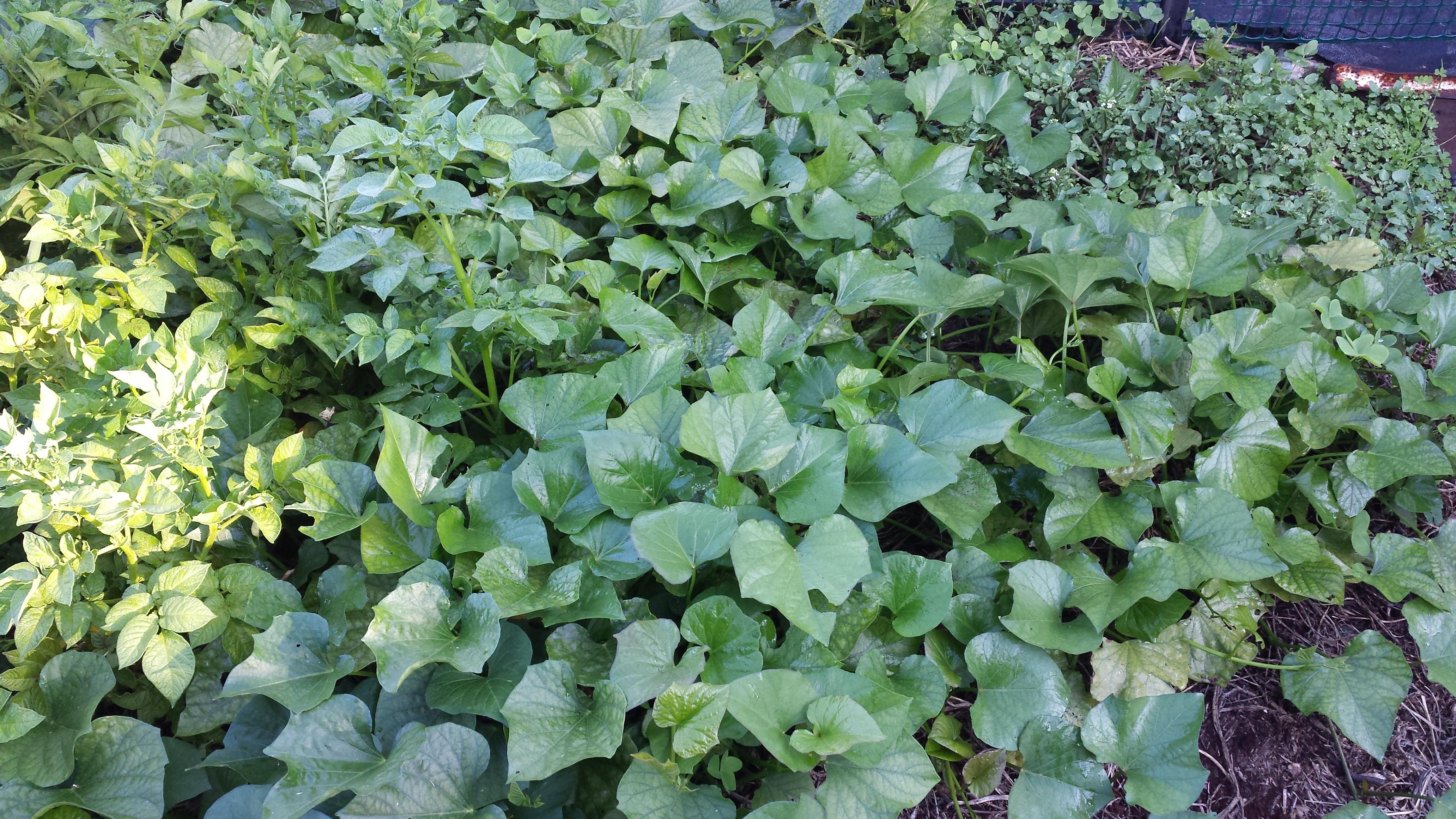 Sweet Potato Plants  Sweet Potato