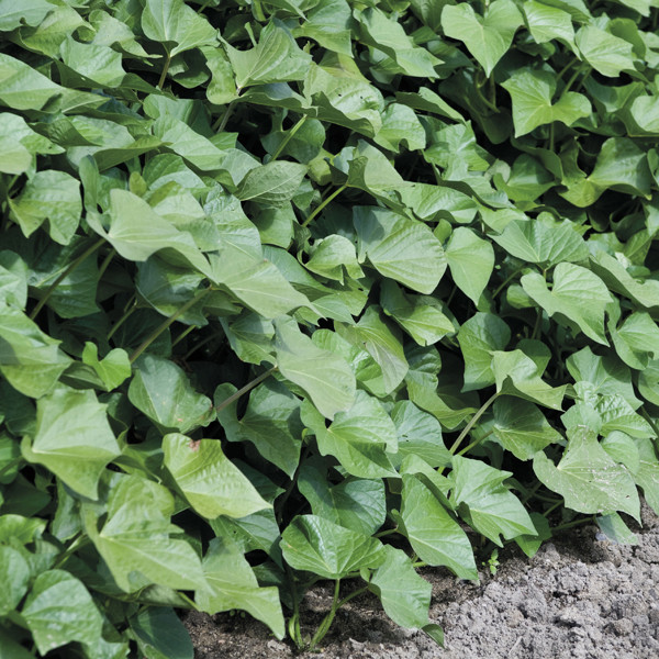 Sweet Potato Plants  Sweet Potato and Grow Bag Collection from Mr Fothergill s