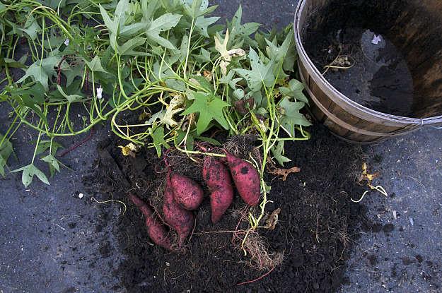 Sweet Potato Season  Grow A Four Season Ve able Garden With 37 Veggies In Season