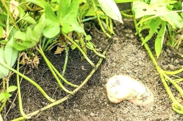 Sweet Potato Slips For Sale  sweet potatoes plants for sale – elcid