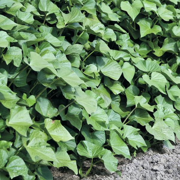 Sweet Potato Slips For Sale  Sweet Potato Plants Sweet Potato Sweet Potato Foliage