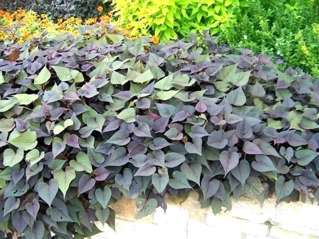 Sweet Potato Slips For Sale  Sweet Potato Plant For Sale Sweet Potato Vine – lochlloydfo
