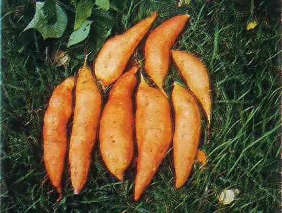 Sweet Potato Slips For Sale  Sweet Potato Slips Organic Gardening MOTHER EARTH NEWS