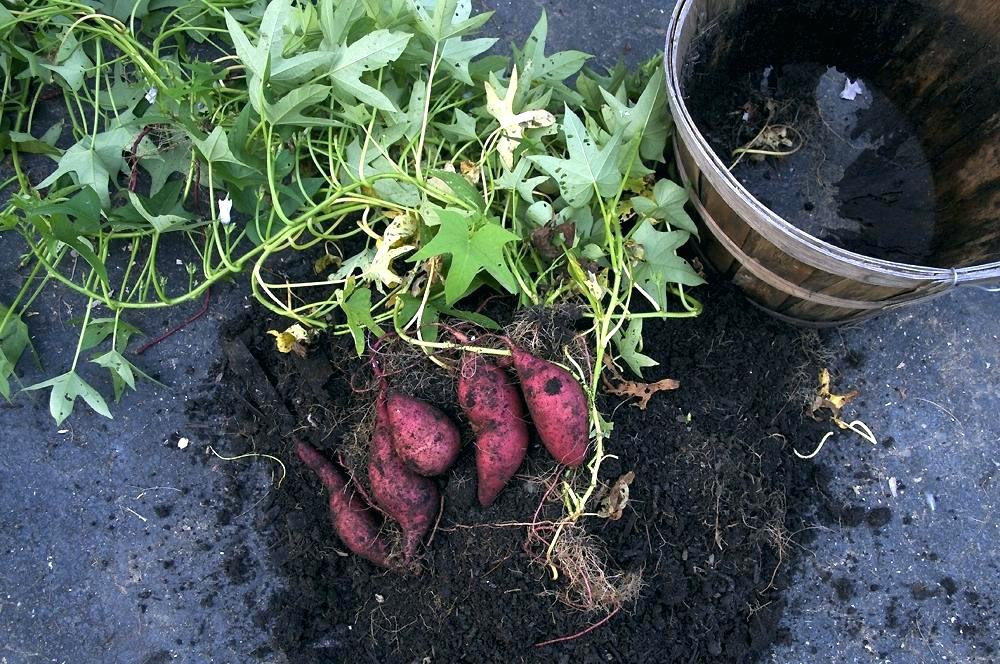 Sweet Potato Slips For Sale  Sweet Potatoes Plants For Sale Get Quotations A Artificial