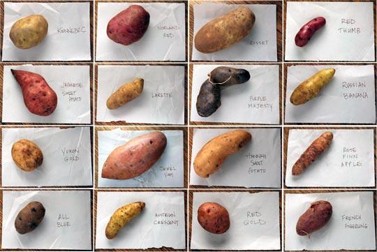 Sweet Potato Varieties  Soroudi Says December 2010