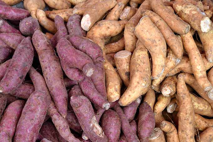 Sweet Potato Varieties  Everything You Need to Know about the Sweet Potato