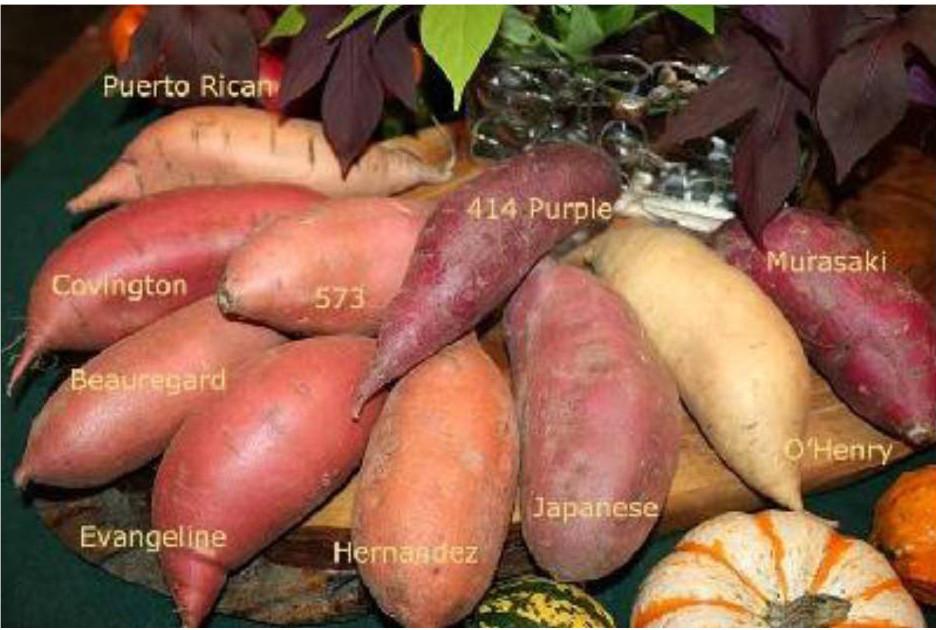 Sweet Potato Varieties  Durham Council of Garden Clubs VEGETABLE SPOTLIGHT Sweet