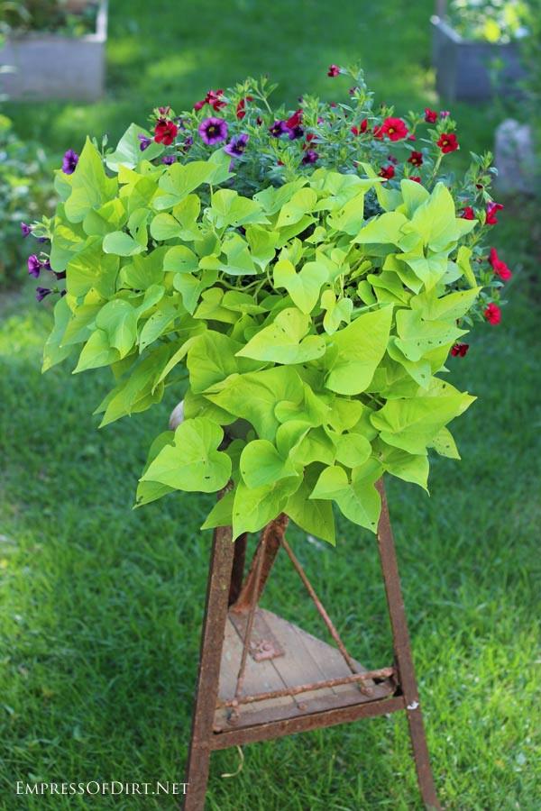 Sweet Potato Vine  How to Grow Sweet Potato Vine from Cuttings