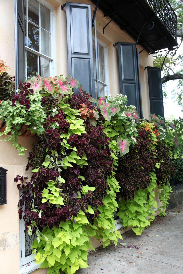 Sweet Potato Vine  1000 images about window box ideas on Pinterest