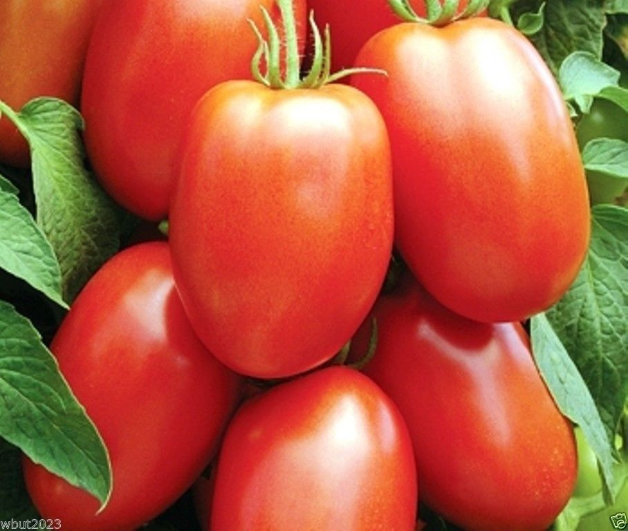 Tomato In Italian  TOMATO SEEDS Early Roma Tomato Italian Heirloom 100