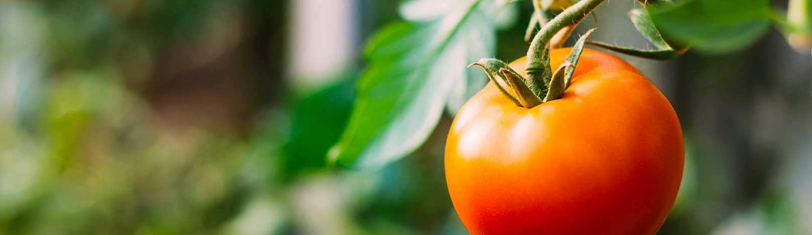 Tomato Vegetable Or Fruit  Is a tomato a fruit or a ve able