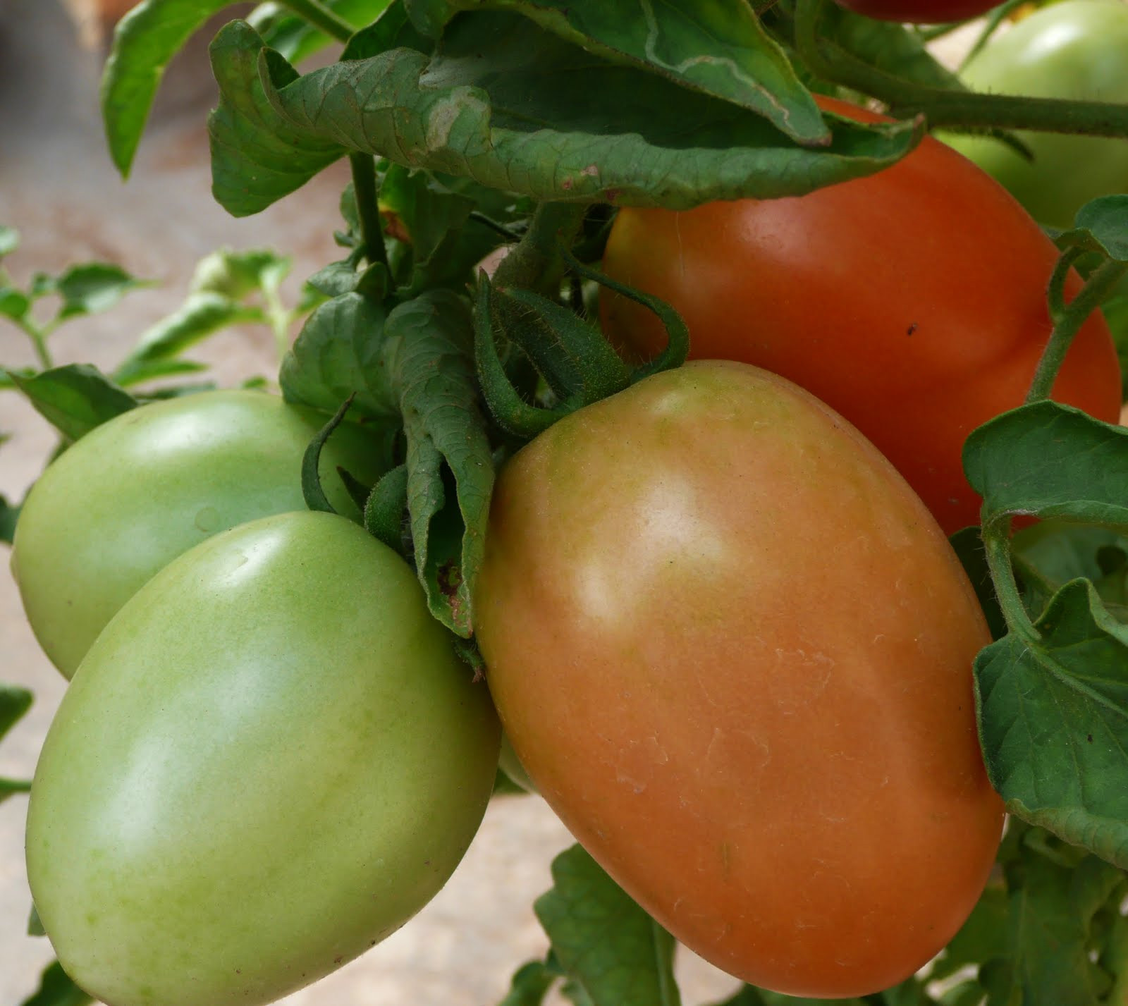 Tomato Vegetable Or Fruit  Organic Gardening Is tomato a fruit or a ve able