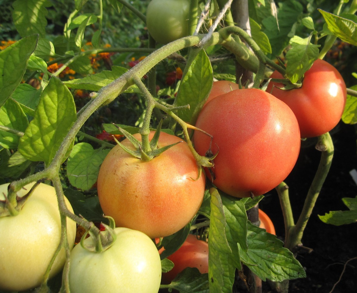 Tomato Vegetable Or Fruit  Is a tomato a fruit a ve able Yes And yes The