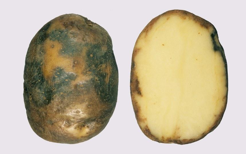 What Is A Potato  A blight resistant potato could be e a reality Telegraph