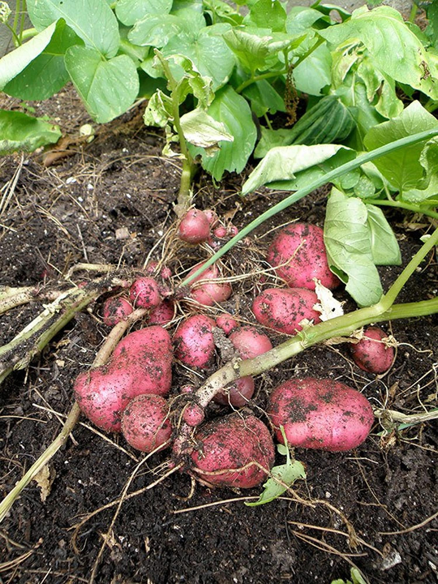 What Is A Potato  Potato Nutrition Facts Calories Fiber Fat Carbs and