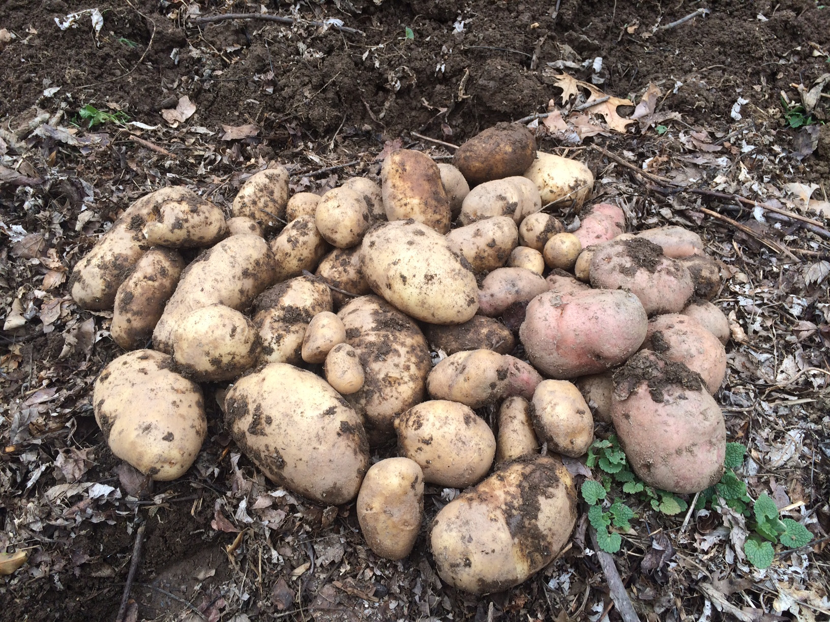 What Is A Potato  Ask Ruth Growing Potatoes Organically