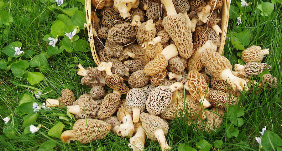 Where Do Morel Mushrooms Grow  The Real Way to Grow Morel Mushrooms on Your Own