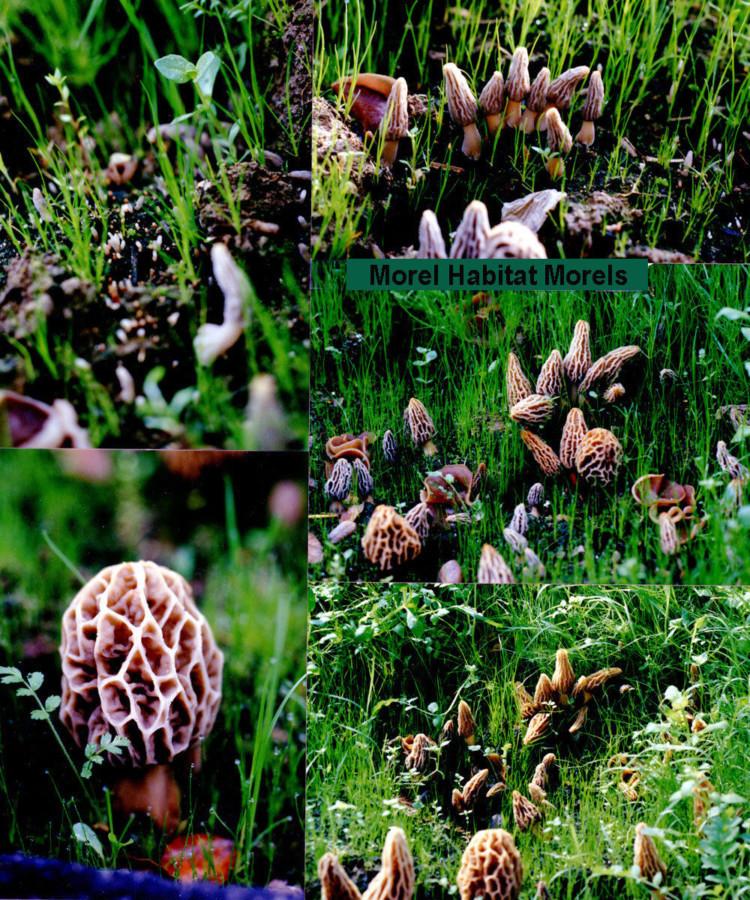 Where Do Morel Mushrooms Grow  1 Morel Habitat Kit – Home Grow Morel Mushrooms Kit