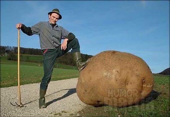 Worlds Biggest Potato  A világ legnagyobb krumplija