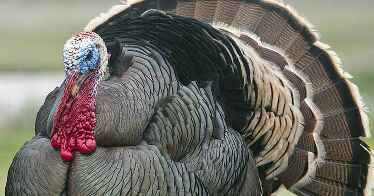 Average Thanksgiving Turkey Weight  Pax on both houses Through Selective Breeding The