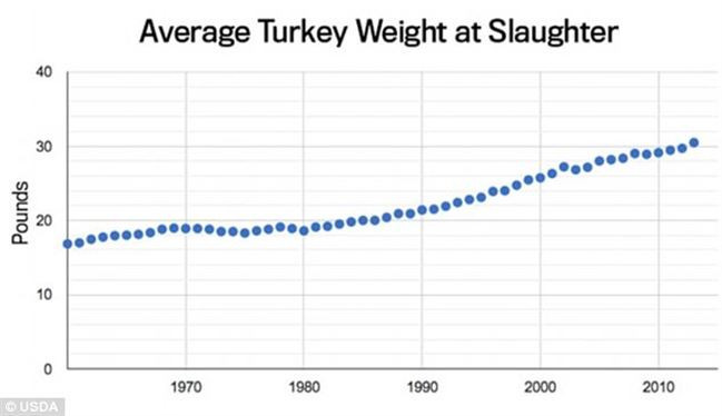 Average Thanksgiving Turkey Weight  How artificial insemination has led to Thanksgiving