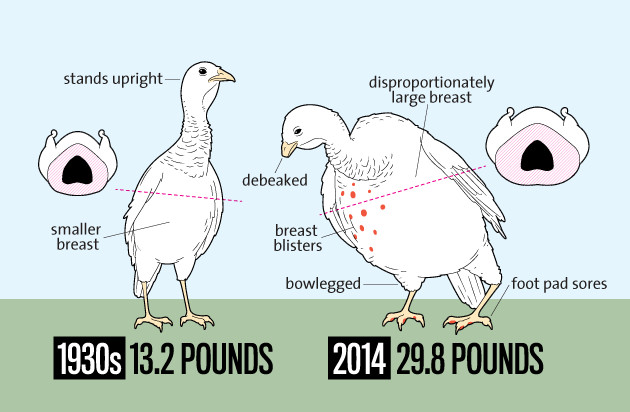 Average Thanksgiving Turkey Weight  5 Reasons to Bypass the Turkey this Thanksgiving d
