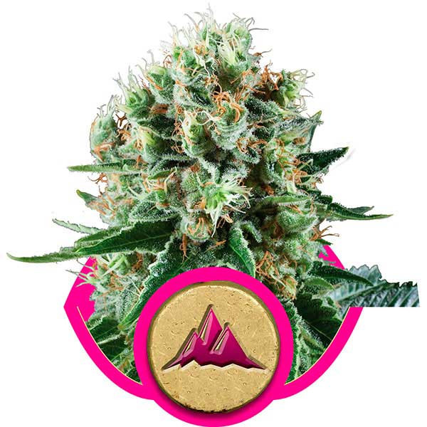 Christmas Cookies Strain  Critical Kush Seeds Delicious Seeds