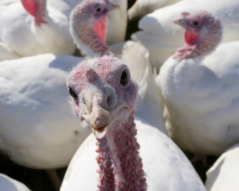 Did The Pilgrims Eat Turkey On Thanksgiving  Why Do We Eat Turkey on Thanksgiving