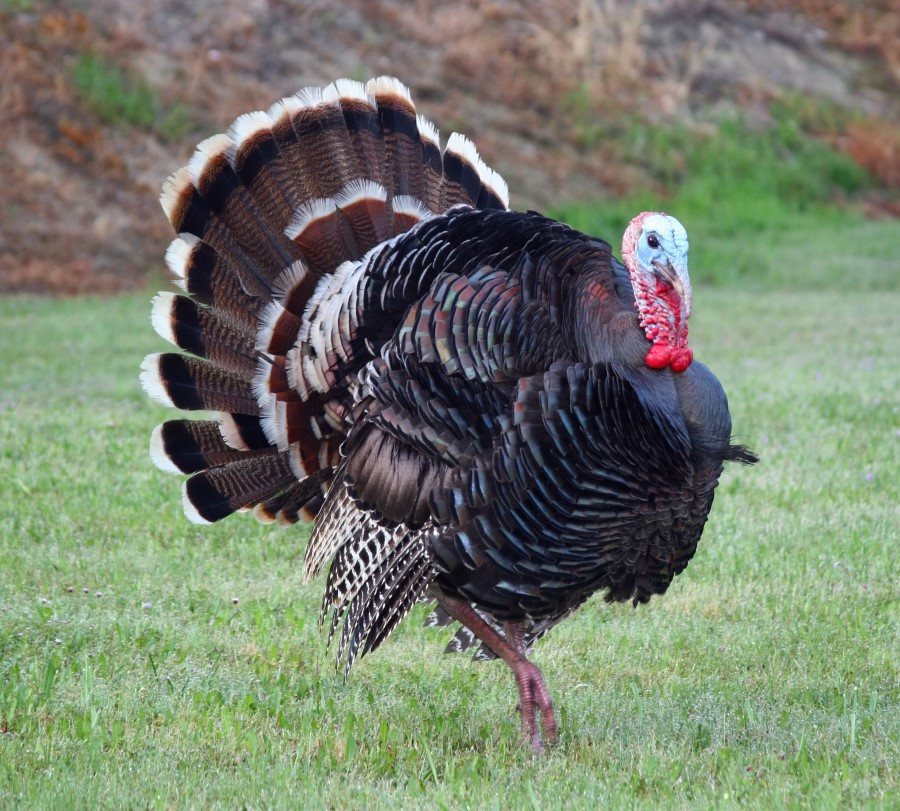 How Did Turkey Become The Thanksgiving Bird  Why is Turkey Called a Turkey