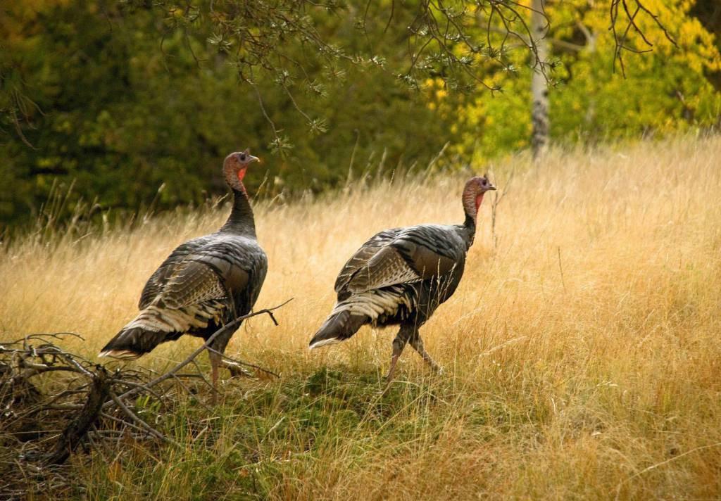 How Did Turkey Become The Thanksgiving Bird  WSHG NET BLOG